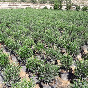 Olivos y planta mediterránea
