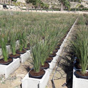 Yuccas, dasylirion y hesperaloes
